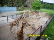 Pohled z balkónu na žirafy